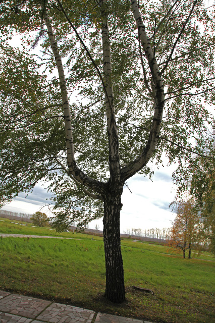 tree at Kulikovo Pole