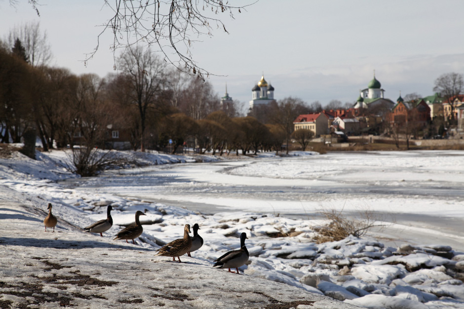 Кряквы – mallards on the Pskov (or Pskova) River – Пскова Река