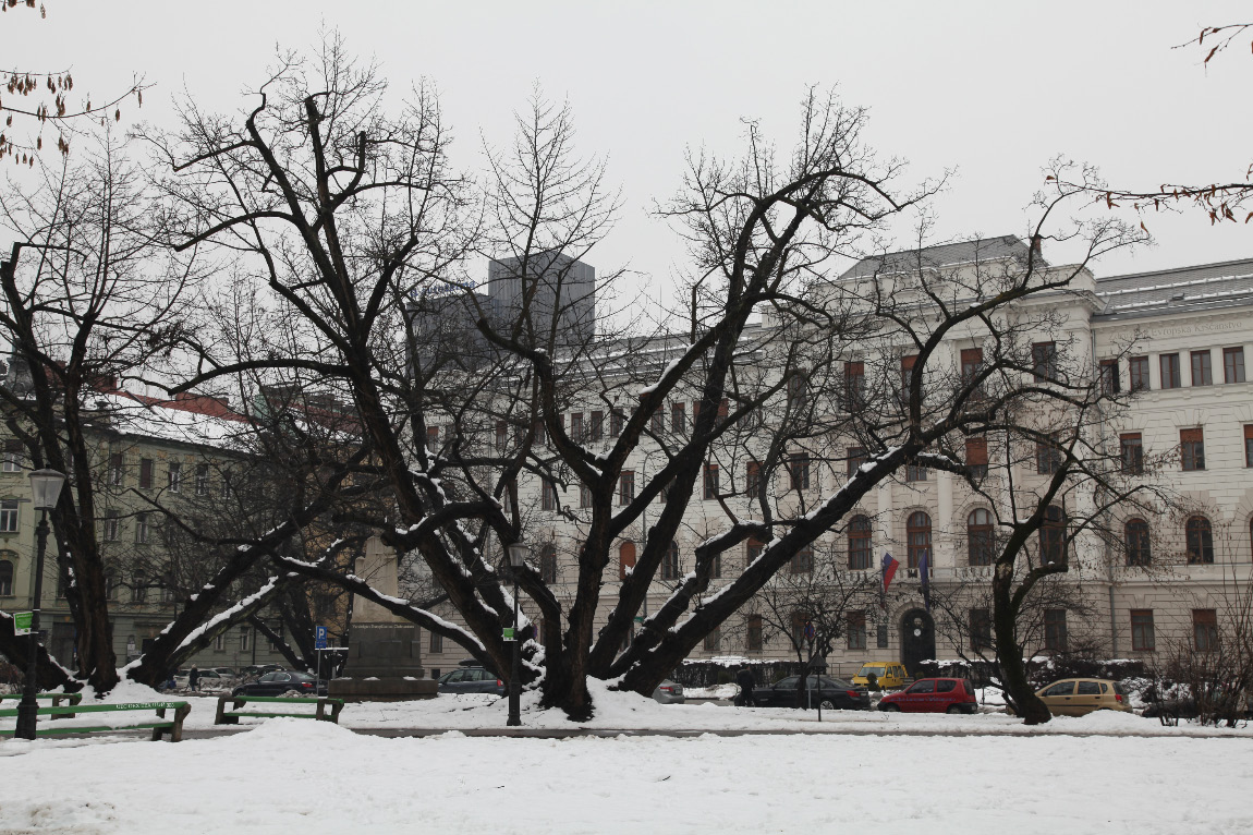 snow on 21 January 2013 and a rather remarkable tree in Ljubljana